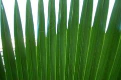 palma liści, Zdjęcie Stock