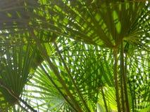 Palma liście jako tło Zdjęcia Royalty Free