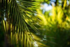 Palma liście przy światłem słonecznym Obrazy Royalty Free