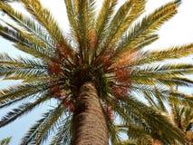 Palma libia Foto de archivo libre de regalías