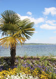 Palma of Mainau. Beautiful palm tree on the shore of lake Constance on the Mainau Royalty Free Stock Photography