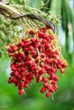Palma matura della noce di areca o della noce di betel sull'albero del treeOn Fotografia Stock