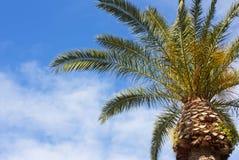 Palma mediterranea Immagine Stock