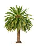 Palma na biały tle Zdjęcia Royalty Free