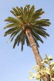 Palma no céu azul Imagens de Stock