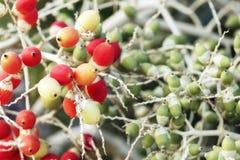 Palma o noci di betel di noce di betel sull'albero Fotografia Stock