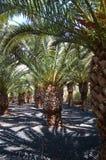 palma ogrodowa Fotografia Royalty Free