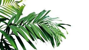 Palma opuszcza na bielu, tropikalna tropikalnego lasu deszczowego ulistnienia roślina odizolowywająca zdjęcia stock