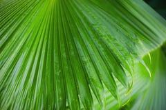 Palma opuszcza tło, piękny drzewo, Palmowa Niedziela zdjęcia stock