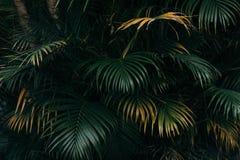 Palma opuszcza teksturę z ciemnym tropikalnym lasowym tłem Zdjęcia Stock
