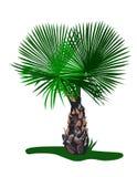 palma ozdobnych Zdjęcie Stock