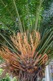 Palma para la decoración del jardín Imágenes de archivo libres de regalías