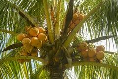 Palma in pieno delle noci di cocco sulla spiaggia del DOS Milagres di Miguel del sao fotografia stock libera da diritti