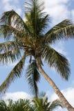 palma pochylona Obraz Stock