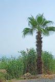 palma pojedyncza Obraz Royalty Free