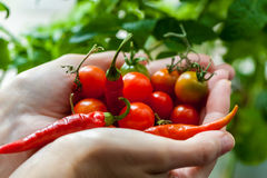 Palma por completo del primer de los tomates de cereza y de las pimientas de chile Imagen de archivo libre de regalías