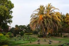 Palma, ptaki, pawie, drzewo, zieleń, piękna, trawa, liście, sceniczni, widok, podróż fotografia royalty free