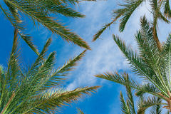 A palma ramifica contra o conceito tropical do céu azul Imagens de Stock Royalty Free