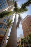 Palma real gigante, Sarasota Imagen de archivo