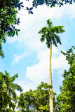 Palma Real nella campagna cubana Fotografia Stock