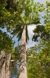 Palma reale sulla traccia del mastice, isola di Grand Cayman fotografia stock