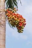 Palma rossa della noce di betel Immagini Stock