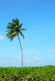 Palma sobre el cielo azul Foto de archivo