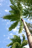 Palma sopra il cielo tropicale Immagine Stock