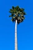Palma sotto l'azzurro Fotografie Stock