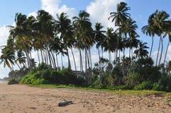Palma Sri Lanka. Lovely palm trees on the island of Sri Lanka Royalty Free Stock Images