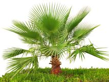 Palma su erba verde Immagine Stock Libera da Diritti