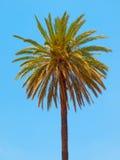 Palma su un fondo del cielo blu Fotografia Stock