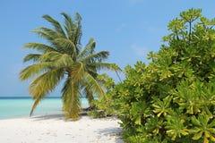 Palma su una spiaggia, Maldive Fotografia Stock Libera da Diritti