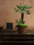 Palma sul vaso di terracotta Fotografia Stock