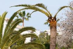 Palma trattata contro il tonchio rosso della palma Fotografie Stock Libere da Diritti