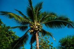 Palma tropical con el crecimiento de los cocos foto de archivo