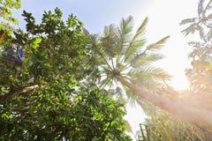 Palma tropicale Immagine Stock