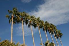 Palma tropicale Fotografia Stock Libera da Diritti