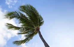 Palma in un forte vento Immagini Stock Libere da Diritti