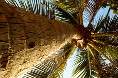 Palma van de kokosnoot. Royalty-vrije Stock Foto