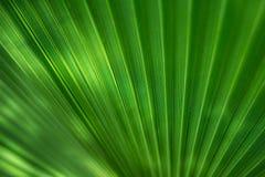 Palma verde Imagem de Stock Royalty Free