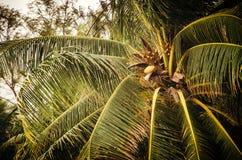 Palma verde con la noce di cocco Immagini Stock Libere da Diritti