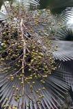 Palma verde de la fruta fotos de archivo libres de regalías