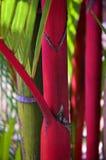 Palma vermelha Fotos de Stock Royalty Free