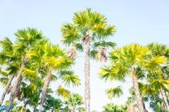 Palma w parku, Popularna ornamentacyjna roślina w ogródzie ilustracja wektor