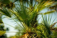 Palma w parku, Rijeka, Chorwacja Zdjęcia Stock