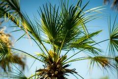 Palma w parku, Rijeka, Chorwacja Fotografia Royalty Free