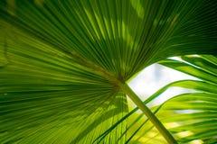 Palma w parku, Rijeka, Chorwacja Fotografia Stock