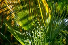 Palma w parku, Rijeka, Chorwacja Obrazy Royalty Free