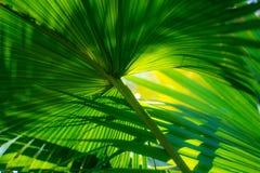 Palma w parku, Rijeka, Chorwacja Zdjęcie Royalty Free